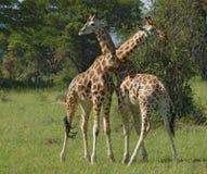 Przy walką męskie Żyrafy Obraz Royalty Free