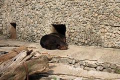 Przy zoo Fotografia brown niedźwiedź jest zmęczona Zdjęcia Royalty Free