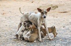 Przybłąkanego matka psa żywieniowi szczeniaki z mlekiem. Obraz Stock