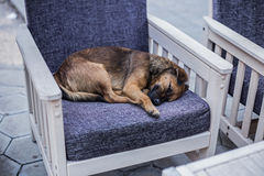 Przybłąkanego psa dosypianie na krześle w sklep z kawą Zdjęcie Stock