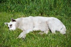 Przybłąkanego psa lying on the beach na trawie Obraz Royalty Free