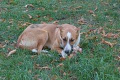 Przybłąkanego psa lying on the beach na trawie Zdjęcia Stock