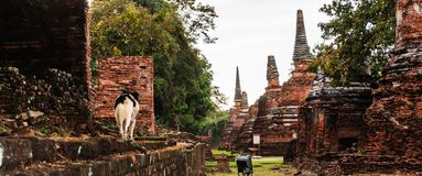 Przybłąkanego psa odprowadzenie na relikwii ścianie w Wata Phra Sri Sanphet Dziejowym parku, Ayuthaya, Tajlandia, Azja Południowo Obrazy Royalty Free