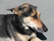 Przybłąkanego psa portret Obraz Royalty Free