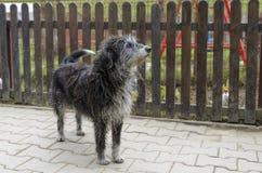 Przybłąkanego psa przyglądający ostrzeżenie Fotografia Royalty Free