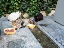 Przybłąkani koty jedzą świeżego mięso zdjęcie stock