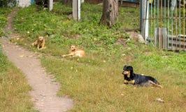 Przybłąkani psy na trawie Fotografia Royalty Free