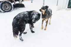 Przybłąkani psy w zimie fotografia stock