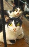 Przybłąkani tajlandzcy koty dwa nieatutowy o drewniana podłoga Zdjęcie Royalty Free