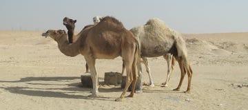 Przybłąkani wielbłądy W saudyjczyku - arabska pustynia Zdjęcia Royalty Free