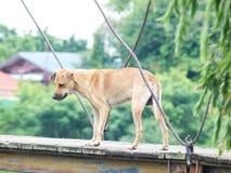 Przybłąkany Brown psa spacer Zdjęcie Stock