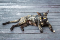 Przybłąkany kot Obraz Royalty Free