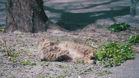 Przybłąkany kot Kłama na ziemi w parku i Sunbathing w słońcu swobodny ruch zbiory
