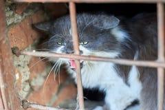 Przybłąkany kot syczy przez kratownicy piwnica zwierząt gacenia swój terytorium obrazy royalty free