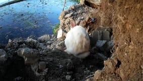 Przybłąkany męski biały królik wędruje przy brzeg zdjęcie wideo