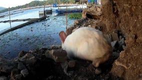 Przybłąkany męski biały królik wędruje przy brzeg zbiory wideo