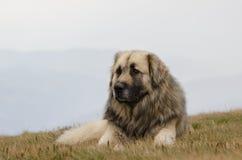 Przybłąkany pasterski pies obrazy royalty free