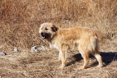 Przybłąkany pies Obrazy Royalty Free
