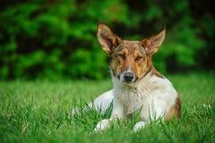 Przybłąkany pies Fotografia Stock
