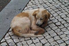 Przybłąkany pies Zdjęcie Royalty Free