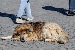 Przybłąkany pies zdjęcia stock