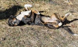Przybłąkany pies kłaść i sunbathing Zdjęcia Stock