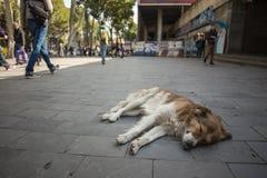 Przybłąkany pies kłama na Tbilisi miasta ulicie obrazy stock