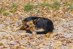 Przybłąkany pies kłama w spadku listve zdjęcia royalty free