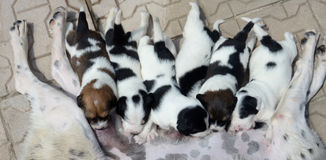 Przybłąkany pies karmi ona ślicznych małych szczeniaki które ssają mleko Zdjęcia Royalty Free