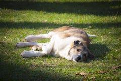 Przybłąkany pies odpoczywa na trawie Zdjęcia Stock