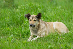 Przybłąkany pies odpoczywa w wiosny trawie Zdjęcia Royalty Free
