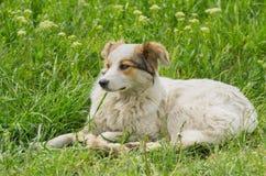 Przybłąkany pies odpoczywa w wiosny trawie Obraz Stock