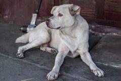 Przybłąkany pies w Tajlandia Zdjęcia Stock