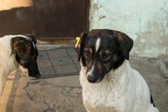 Przybłąkany pies z układem scalonym w ucho Zdjęcia Royalty Free
