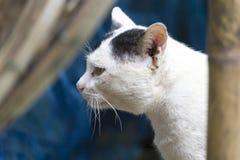 Przybłąkanych kotów biały przyglądający znalezisko coś w Thailand Zdjęcie Royalty Free