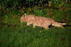 Przybłąkany Tom kota czajenie Fotografia Royalty Free