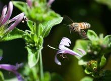 Przybywająca pszczoła Obraz Stock
