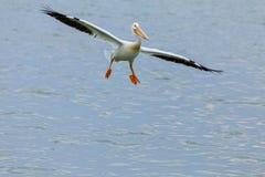 Przybywający pelikan zdjęcia royalty free
