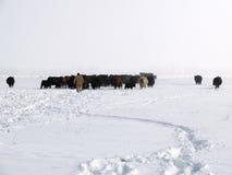 przychodzi krowy domowe Zdjęcia Royalty Free