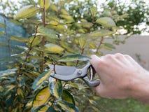Przycinać żywopłot w ogródzie, sezonowa ogrodowa praca Zdjęcie Stock