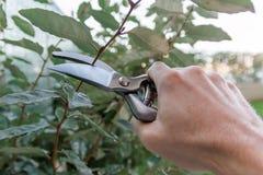 Przycinać żywopłot w ogródzie, sezonowa ogrodowa praca Obraz Royalty Free