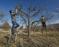 Przycinać jabłonie Fotografia Stock