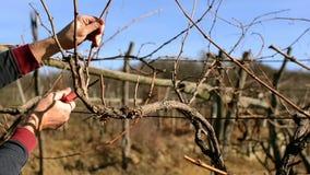 Przycinać winogrady zbiory