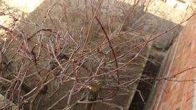 Przycinać winogrona zbiory