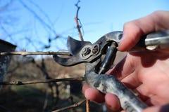 Przycinający gałąź winogrona w wiośnie uprawia ogródek Fotografia Royalty Free