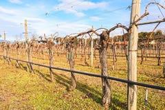 Przycinający winogrady w winnicy w zima słonecznym dniu Obrazy Stock