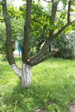 Przycinam żyłował owocowego drzewa w ogródzie Obraz Stock