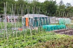 Przydziału ogród w wiośnie z beetroot i biegacza fasoli trzcinami Obraz Stock