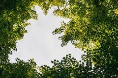 Przyglądający w górę Forest Green gałąź natury abstrakta ramy tła w obrazy stock
