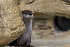 Przyglądać się Północnoamerykańskiej Rzecznej wydry Zdjęcie Stock